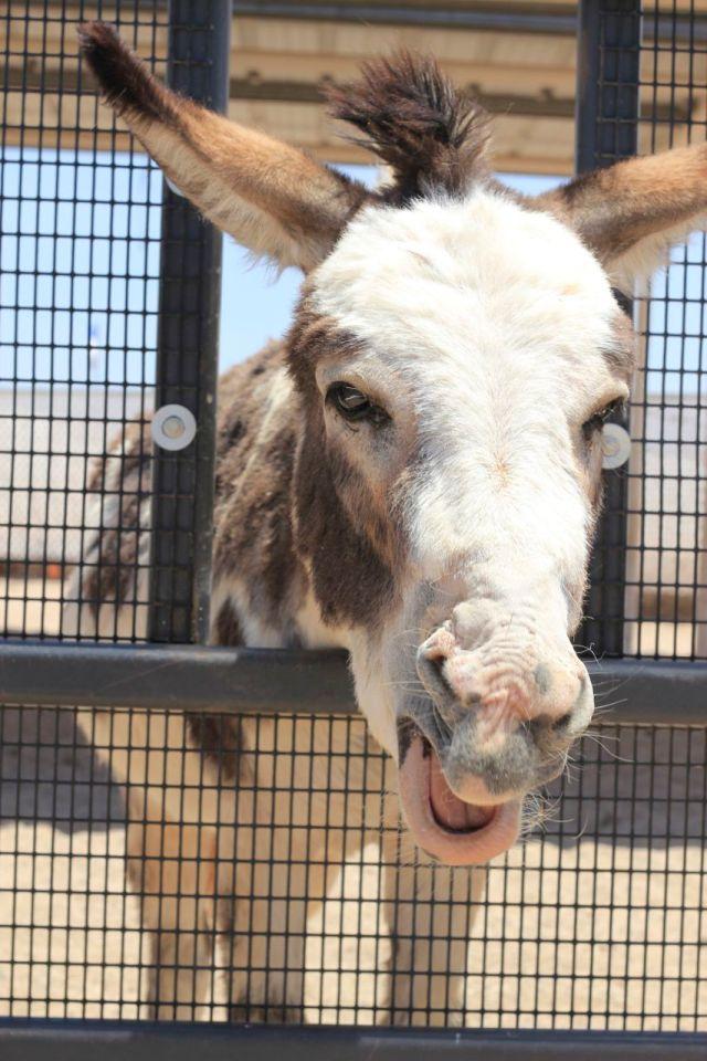donkey2.1